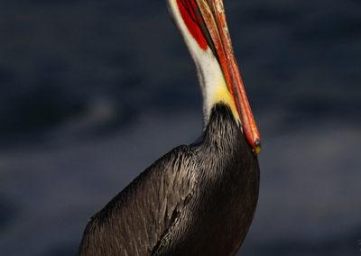 Male-Brown-Pelican-in-Mating-Colors-La-Jollia-Ca_6158