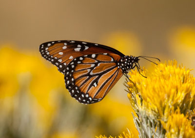 Monarch-Butterfly-NM_0765