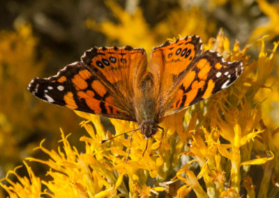 Painted-lady-New-Mexico_0653