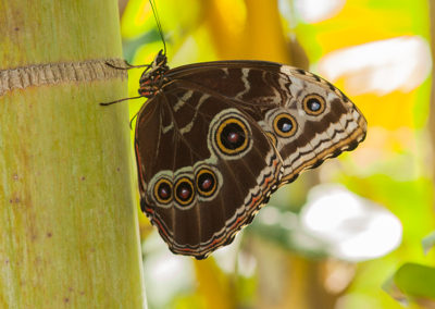 Pearly Eye Butterfly_7902