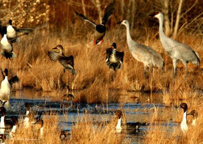 Pintail-Mallard-Ducks-Sandhill-Cranes-Take-Flight-#-61-BdA