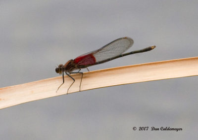 Ruby-Spot-Damselfly_2335