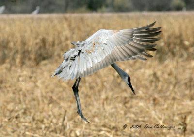 Sandhill-Crane-Landing-#-71