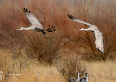 Sandhill Cranes Landing Bosque del Apache NM_7900