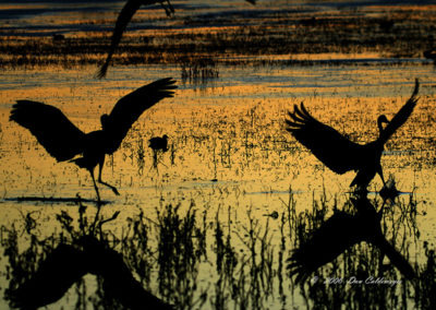 Sandhill-Cranes-Mirrored-Landing-#-58