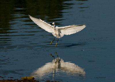 Snowy-Egret-0764