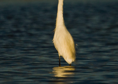Snowy-Egret-Bitter-Lake-NM-7630