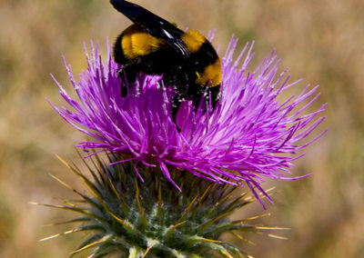 Sonoran-Bumble-Bee-on-a-New-Mexican-Thistle_6288