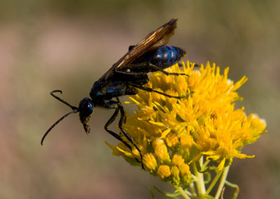 Tarantula Hawk Wasp Bitter Lake NM_5371