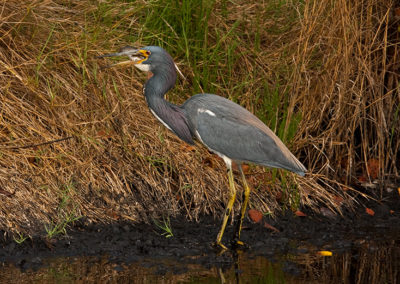 Tri-Colored-Heron-Kennedy-Space-Center-Fl-2011_7701