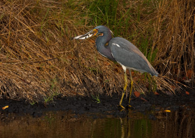 Tri-Colored-Heron_7695