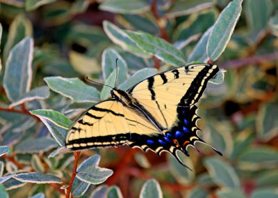 Two-Tailed-Swallowtail-Butterfly-305