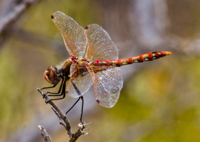 Variegated-Meadow-Hawk-Dragonfly_2328