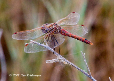 Variegated-Meadowhawk-Dragonfly_2240