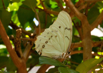 White-Morpho-Butterfly_7928
