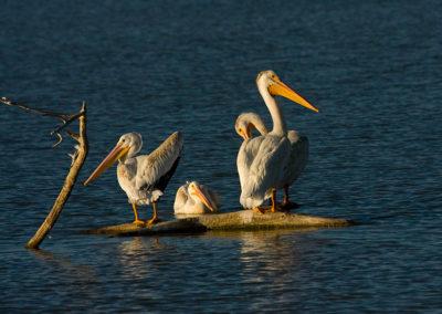 White-Pelicans_2564