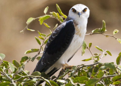 Black Shouldered Kite Amboseli NP Kenya Lg 3938