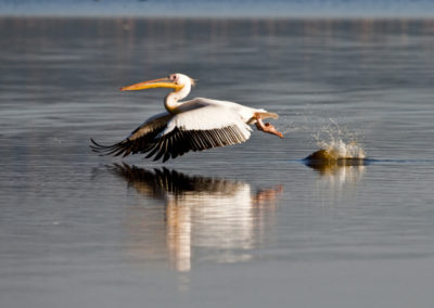 Great White Pelican Taking Off Lake Nakuru Kenya Lg 4916