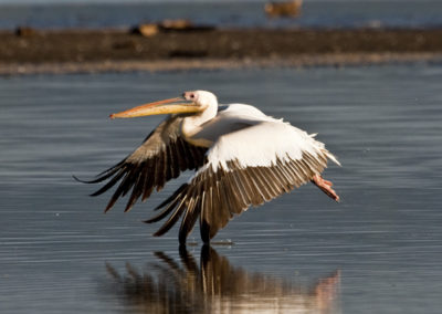 Great White Pelican Taking Off Lake Nakuru NP Kenya Lg 4866