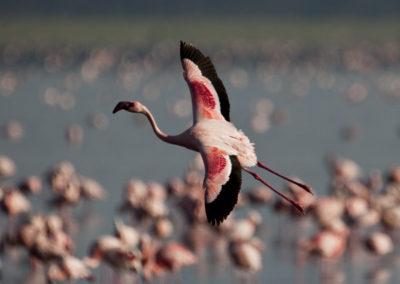 Lesser Flamingo Lake Nakuru Kenya Lg 5103