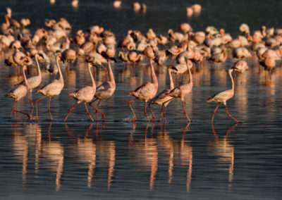 Reflections of The Flamingo Mating Ritual Lg 4497