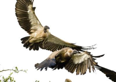 Ruppell's Griffon Vulture 10' Wingspan & White Backed Vulture Maasai Mara Kenya Lg 6445
