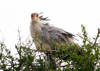 Secretary-Bird-Maasai-Mara-Kenya-6704