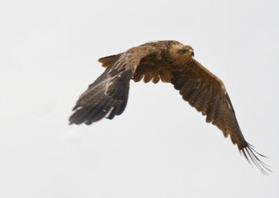 Tawny Eagle Amboseli NP Kenya Lg 3754