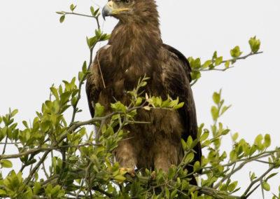 Tawny Eagle Maasai Mara Kenya Lg 6441