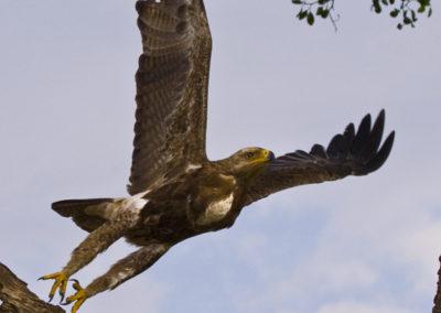 Tawny Eagle Maasai Mara Kenya Lg_1982