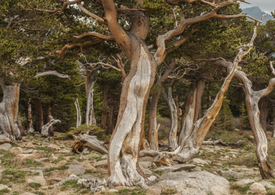 Man Standing Bristle Cone Pines Thousands of Years Old Mt Evans Colo 11,000'_1839
