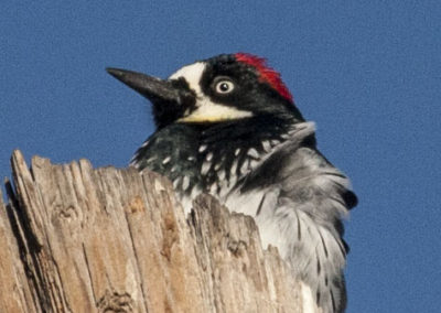 Acorn Woodpecker Silver City NM_0652