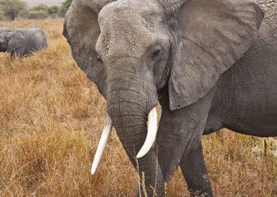African Elephant Tarangire NP Tanzania Africa_0401