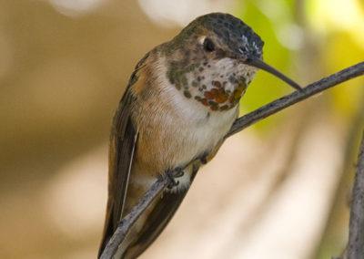 Allens Hummingbird_2834