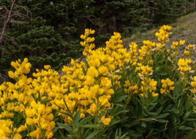Alpine-Butter-and-Eggs-RMNP-Colo-0927