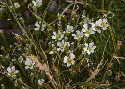 Alpine Sandwort Colo 0912-2