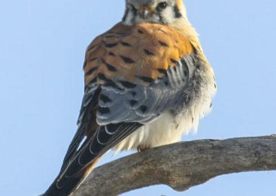 American Kestral Hawk Utah_9469