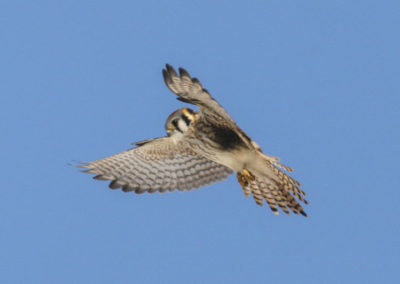 American Kestral Hawk Utah_9645