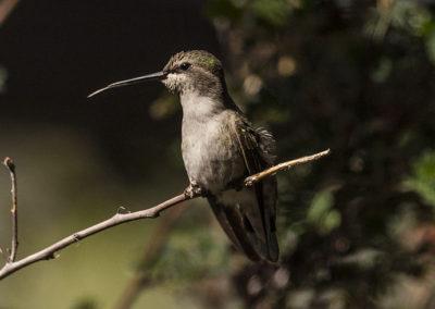 Anna's Hummingbird Az 8230