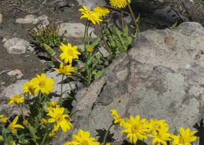 Arrowleaf Sunflower & Dandelion Yellowstone NP_0380