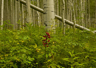 Aspens, Ferns and Berries Keebler PassColo_0406