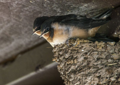 Baby Tree Swallows_0916-3