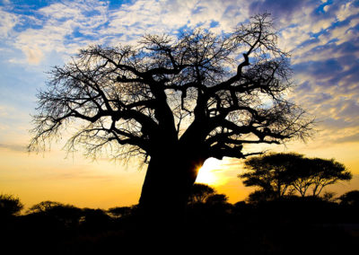 Baobab Upside Down Tree Sunset Tarangire NP Tanzania Africa_0267