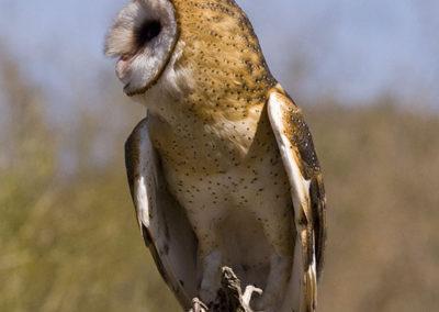 Barn Owl Az_2728