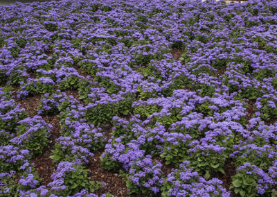 Blue Asters Texas_1889