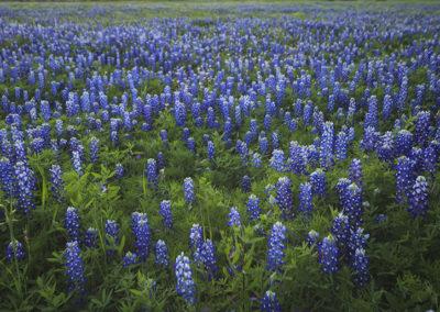 Blue Bonnets Marble Falls Texas_2104