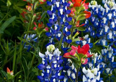 Bluebonnets & Paintbrush Marble Falls Texas_1440