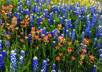 Bluebonnets and Paintbrush Marble Falls, Tx_1431
