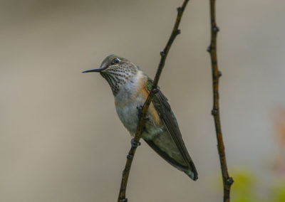 Broadtailed Hummingbird Pecos NM 106