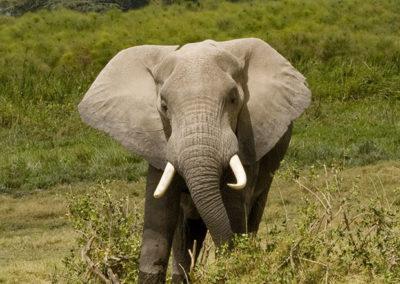 Bull Elephant Charging Lake manyara Tanzania _1047